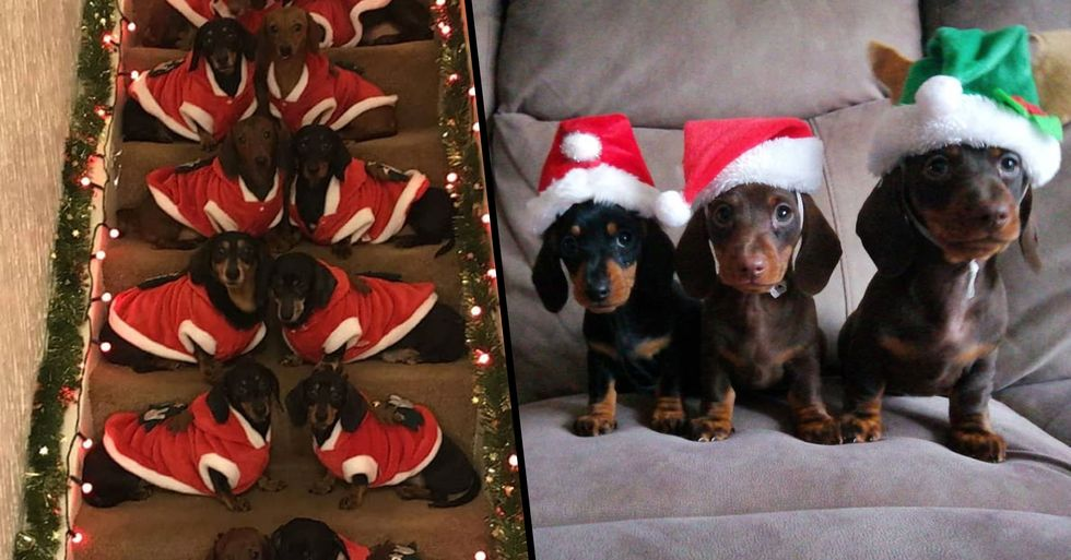 Proud Dog Owner Gathers His 17 Sausage Dogs for Ultimate Christmas Photo