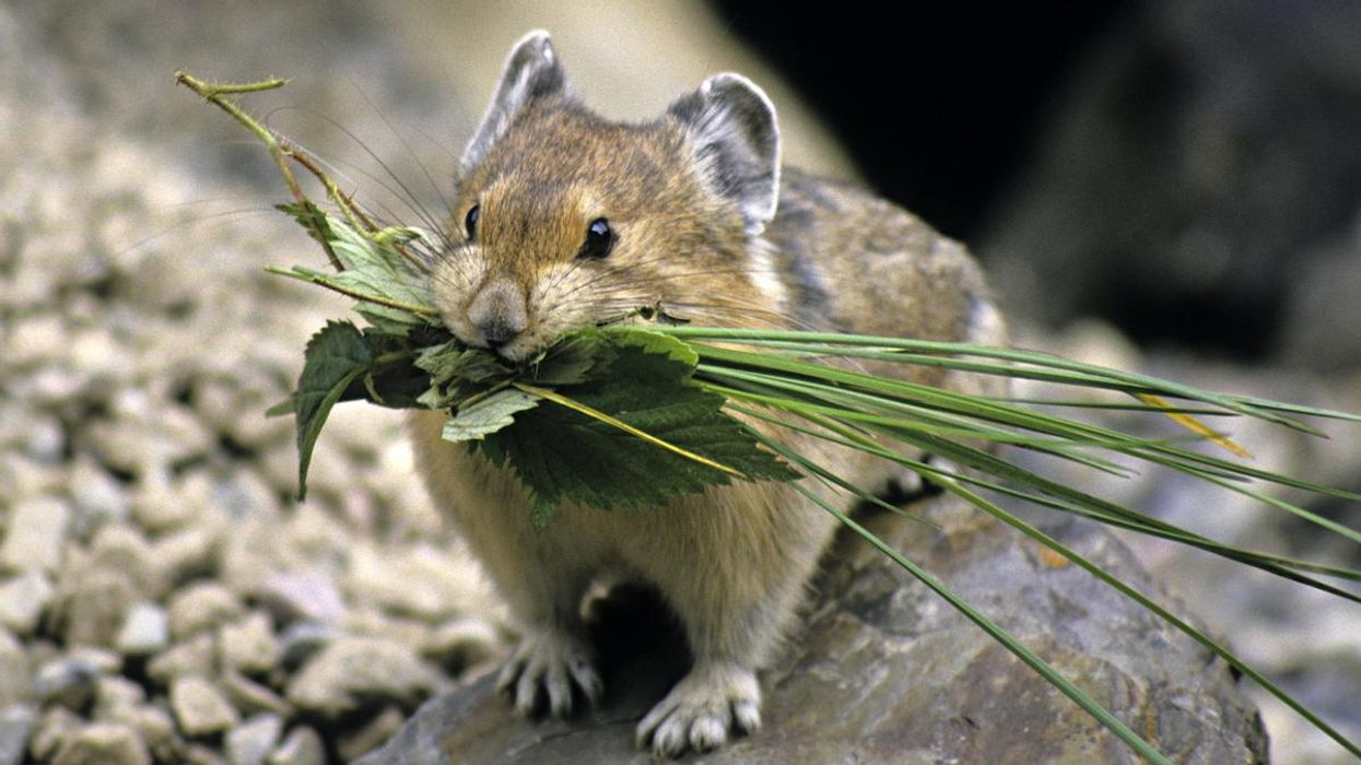Pikas Are Adapting Surprisingly Well to Climate Change