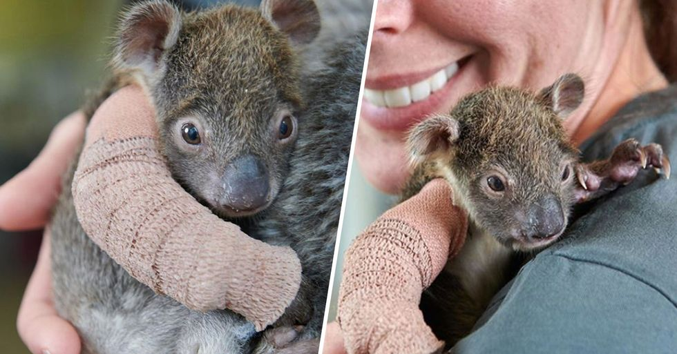 Baby Koala Gets Mini Cast to Heal Broken Arm After Falling From Logging Plantation Tree