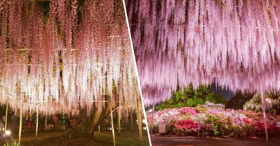 144-Year-Old Wisteria in Japan Looks Like a Pink Sky