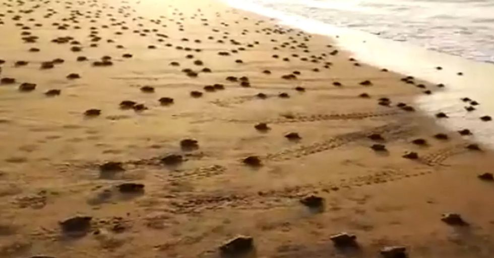 Millions of Baby Turtles Head to Sea on Empty Beach