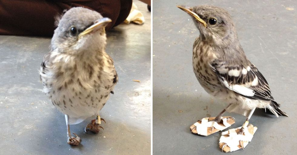 Small Injured Bird Gets Tiny 'Snowshoes' to Get Back on Her Feet