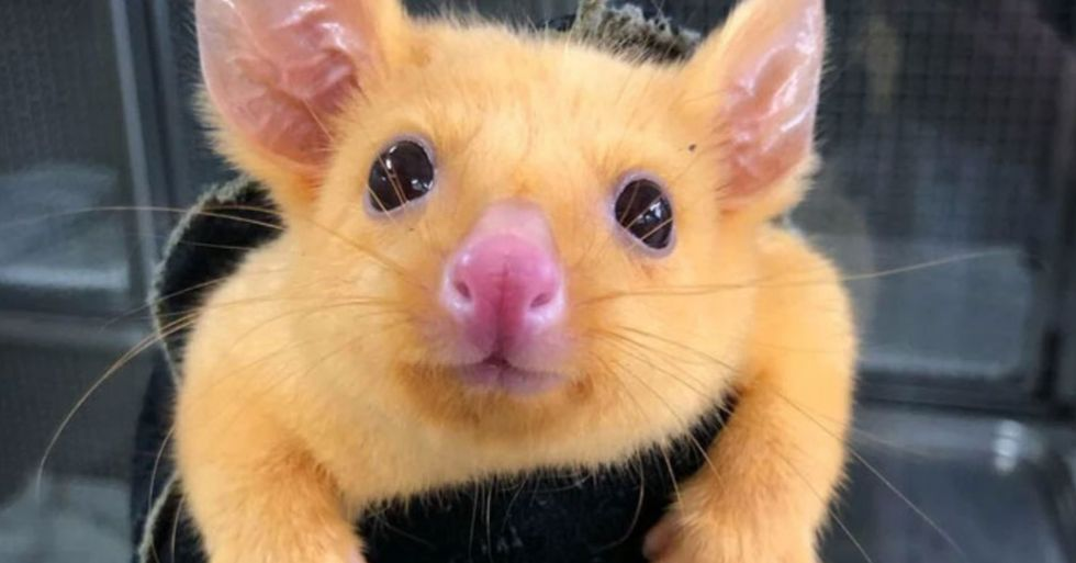Australian Vet Clinic Catches Rare Golden Possum That Looks Like Pikachu
