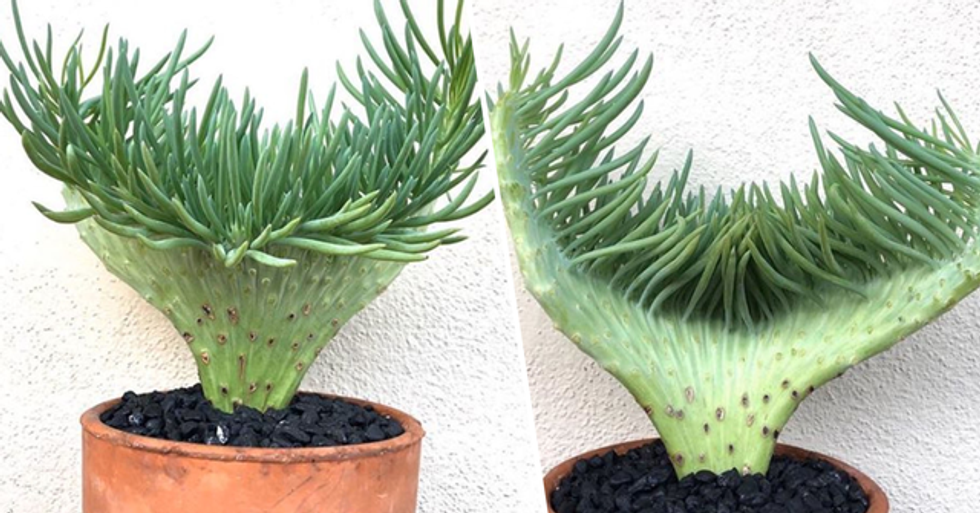 Mermaid Tail Succulents Are a Thing and They're Absolutely Magical