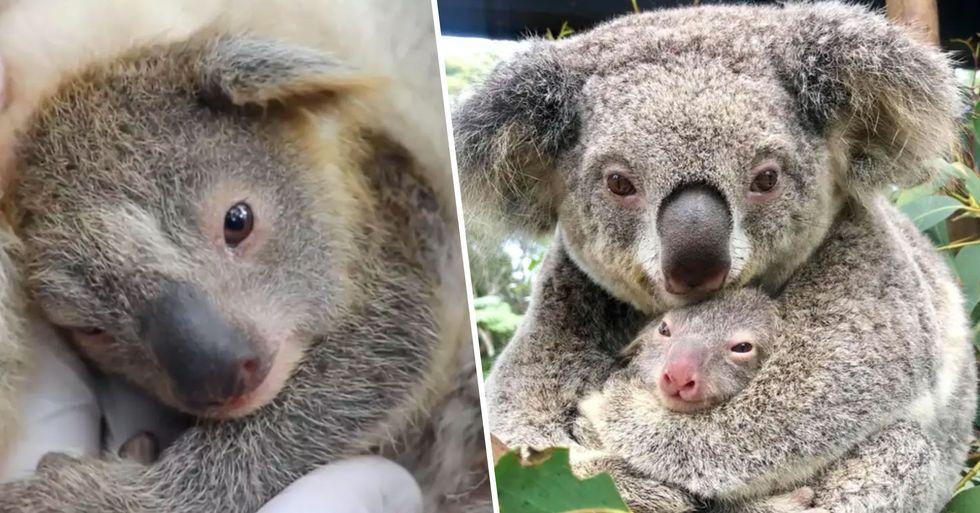 The First Koala Baby Has Been Born Since the Devastating Australian Bushfires