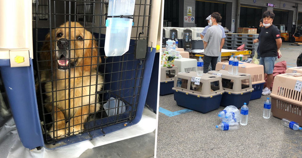 More Than 100 Dogs Rescued From South Korea Dog Meat Markets and Flown to U.S for Adoption
