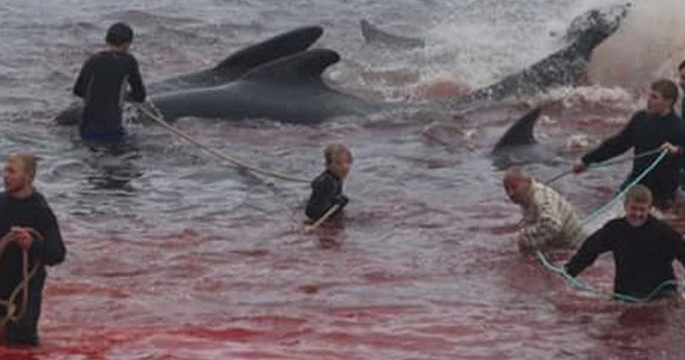 Sea Turns Red in Faroe Islands as 250 Whales are Slaughtered in One Day During Annual Event
