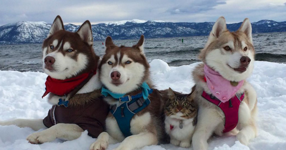 Three Huskies Become Best Friends With a Cat After Saving Its Life