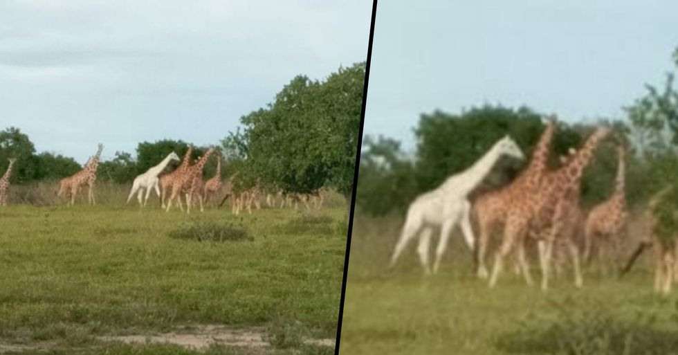 Ultra Rare White Giraffe Spotted by Rangers in Kenyan Nature Reserve