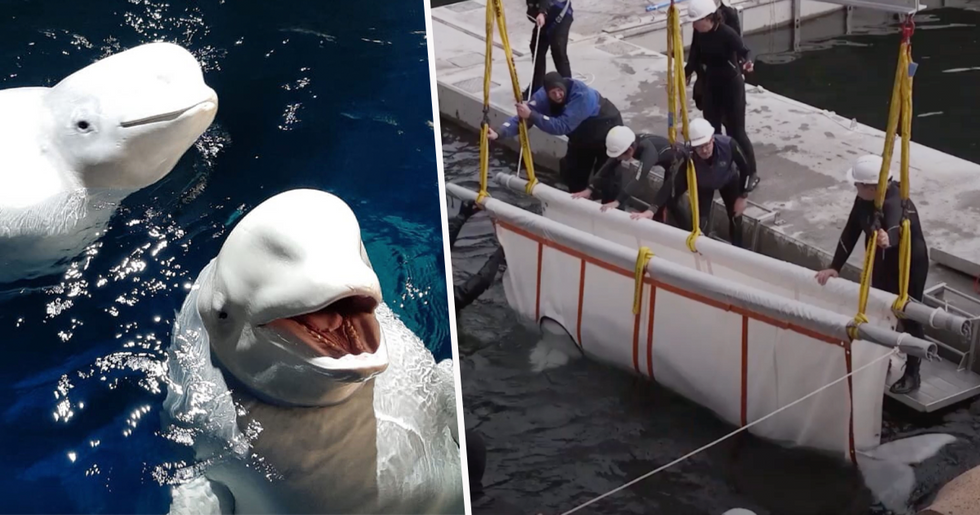 Two Beluga Whales Are Rescued From Performing as Show Animals in China
