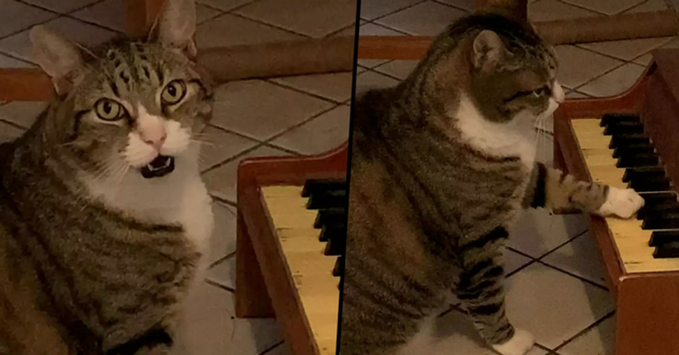 Cat Has His Own Tiny Piano That he Uses When He's Hungry