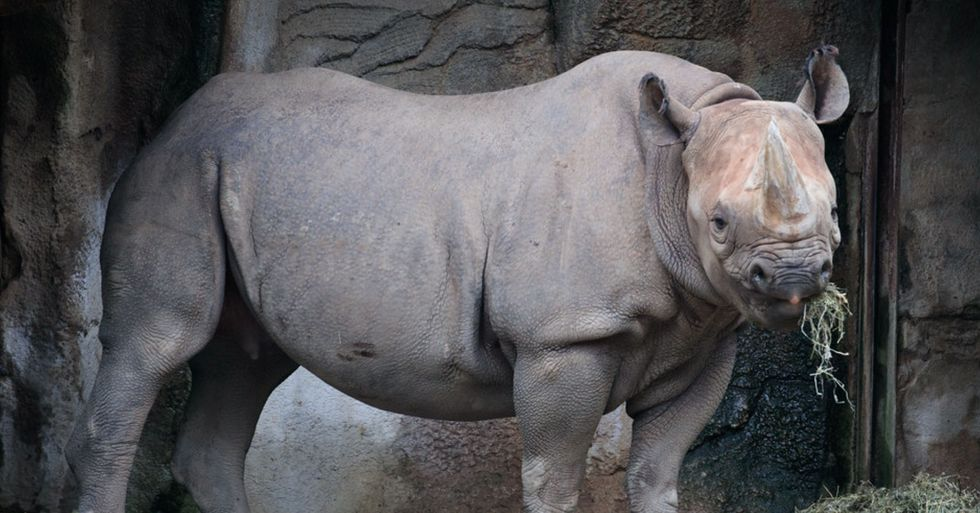 Critically Endangered Black Rhino is Pregnant and Due Any Day Now
