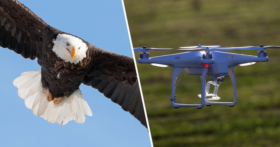 Bald Eagle Attacks and Destroys $995 Government Drone Flying 162ft in the Air