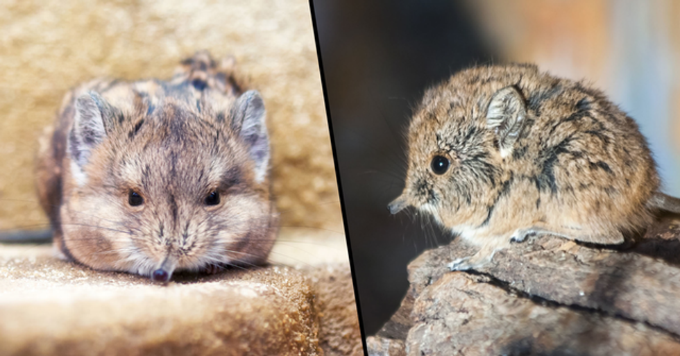 Tiny Elephant Shrew Rediscovered After 50 Years of Being a 'Lost Species'