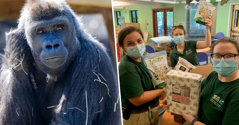 Zoo Holds Baby Shower for Pregnant Gorilla
