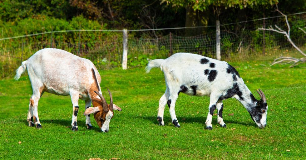 Police Hunting Delinquent Goats Who Hijacked Their Car in Broad Daylight