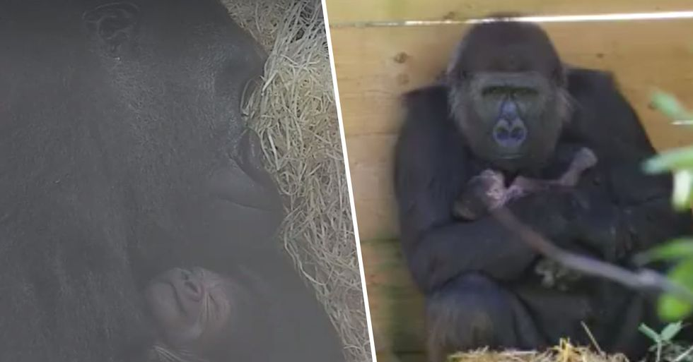 Critically Endangered Gorilla Gives Birth At Zoo