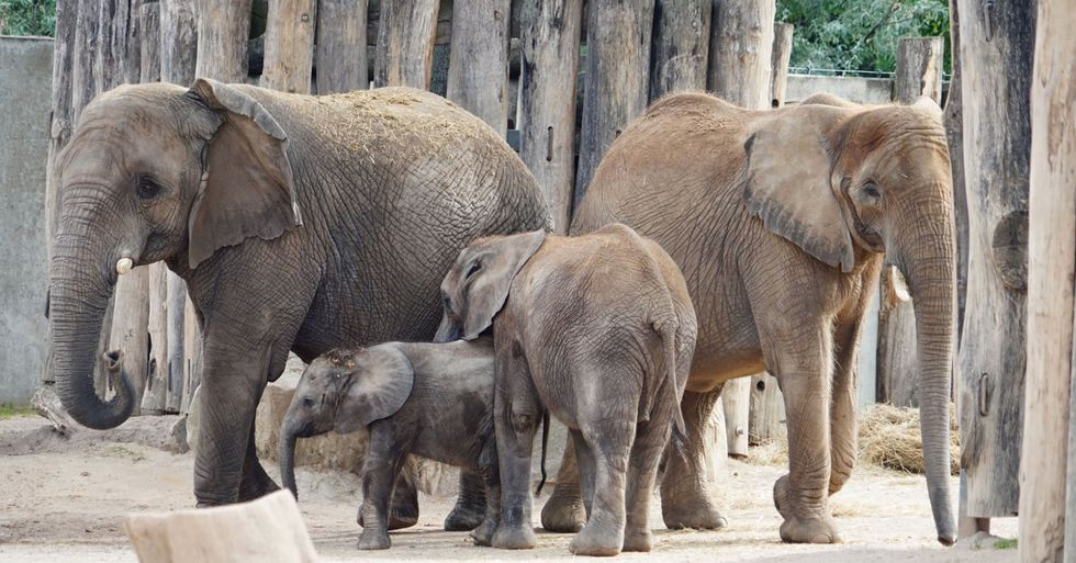 Moment Elephant Touches Trunks With Her Daughter and Granddaughter After Reuniting