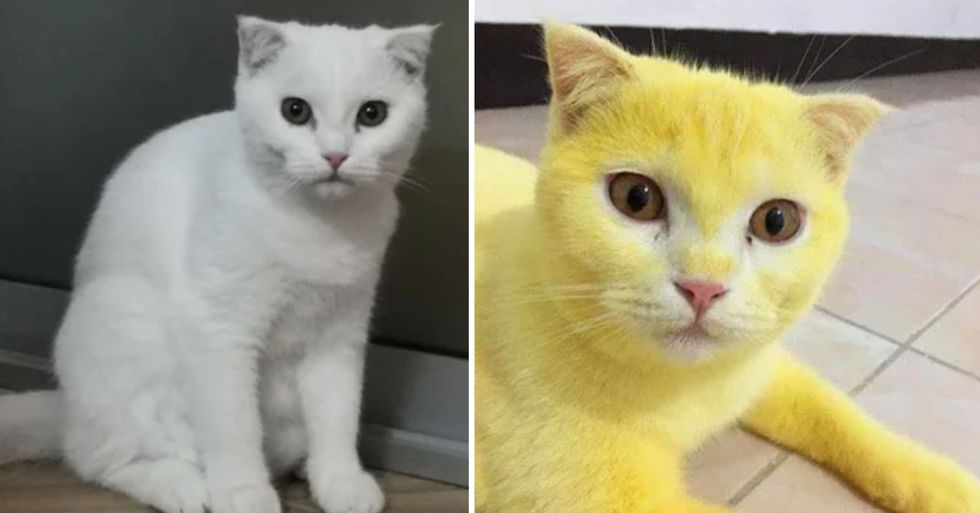Cat Turns Bright Yellow After Receiving Turmeric Treatment for Its Fungal Infection