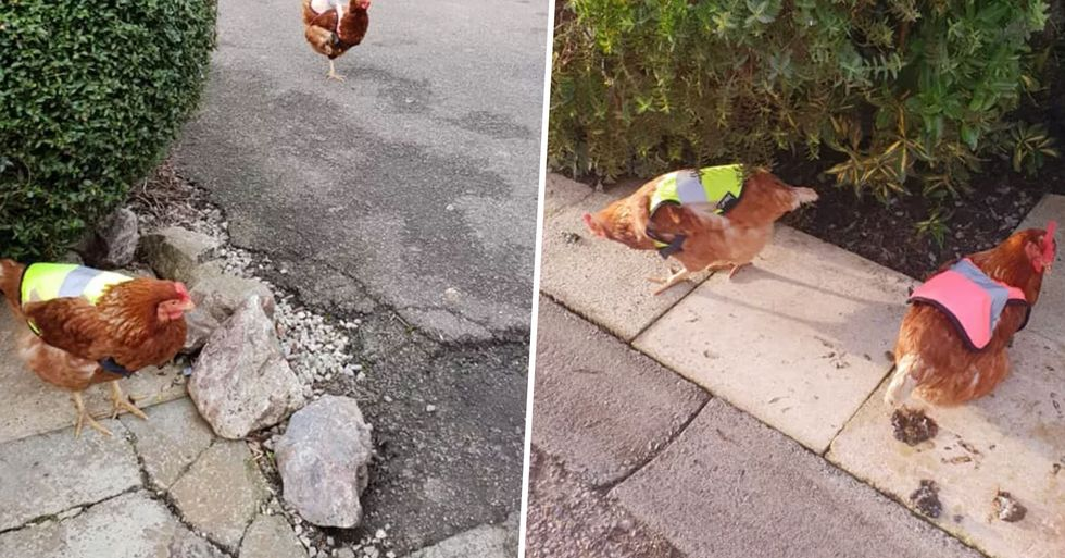 Man Buys His Chickens High Visibility Jackets After They Refuse To Stay in Their Coop