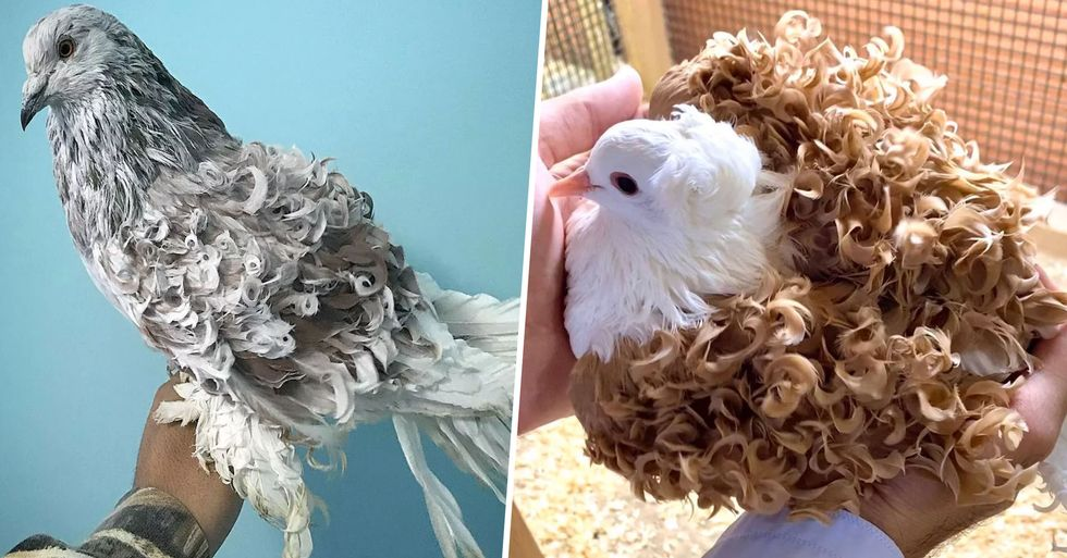 Curly Frillback Pigeons Put Expensive Salon Perms To Shame