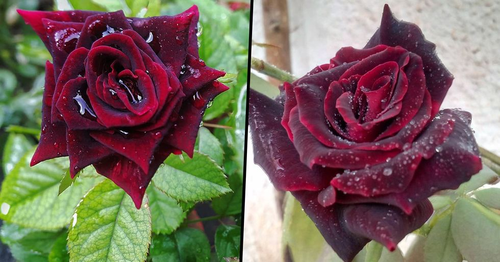 You Can Now Plant Blood Red Rose Bushes That Give off Flawless Gothic Vibes in Your Garden