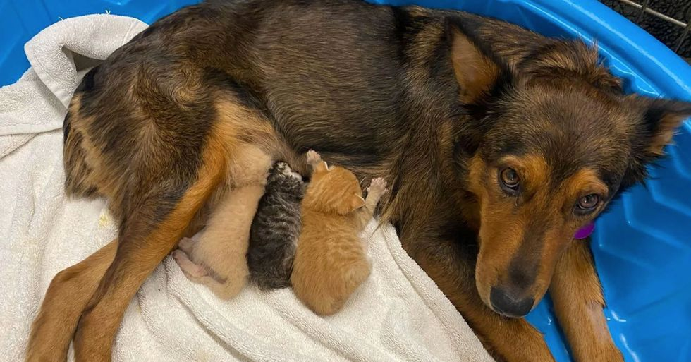 Mother Dog Who Lost Pups in Premature Labor 'Adopts' Orphaned Kittens
