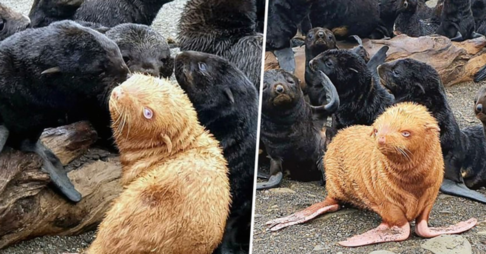 Rare Ginger Seal Pup May Have To Be Rescued Because It's Shunned by Rest of the Colony