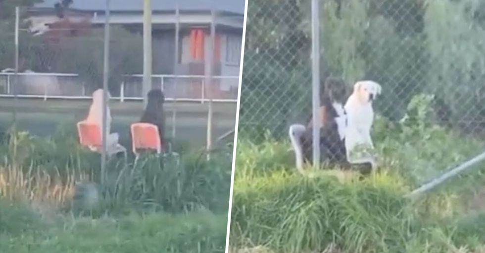 Bizarre Moment Man Catches Two Dogs Relaxing in Lawn Chairs in Backyard