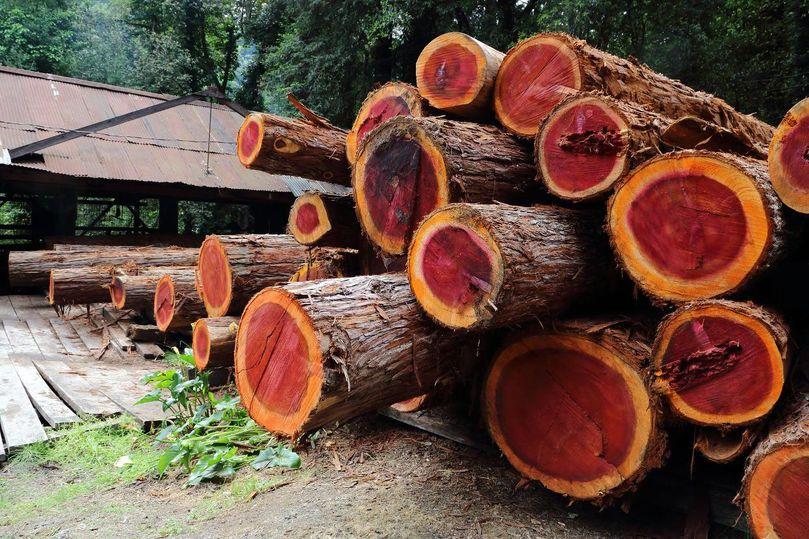 Redwoods logging old growth