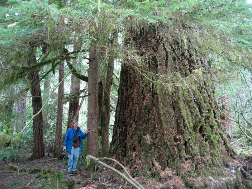 Douglas fir old growth