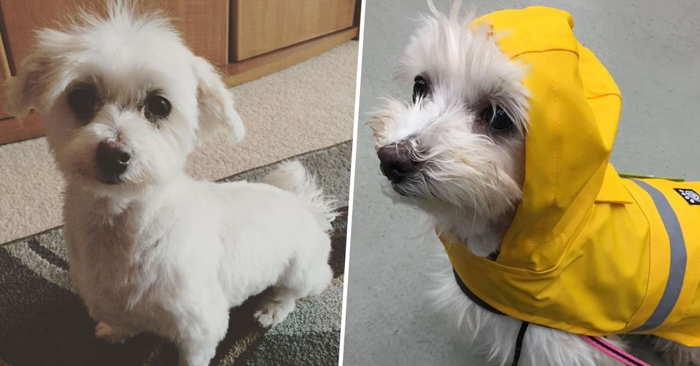 Puppy Mill Survivor Called Lamb Chop Wins 'World's Cutest Rescue Dog' Contest