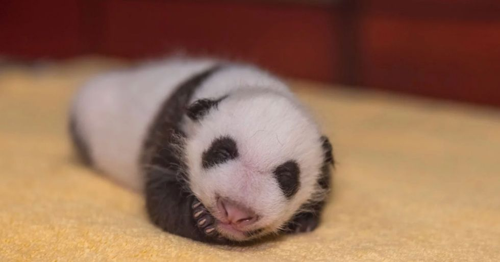 'Plump' One-Month-Old Panda at National Zoo Is Now 'Almost as Round as It Is Long'