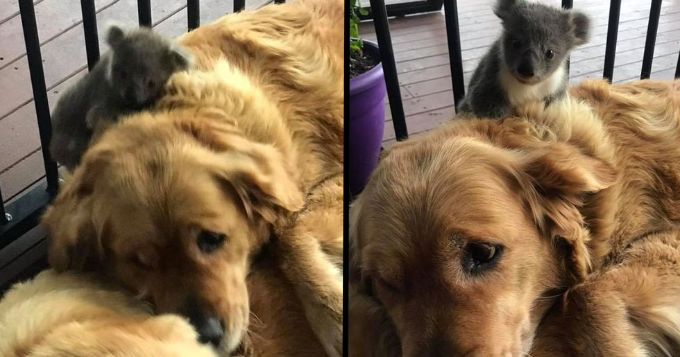 Golden Retriever Saves Baby Koala's Life By Giving It A Cuddle