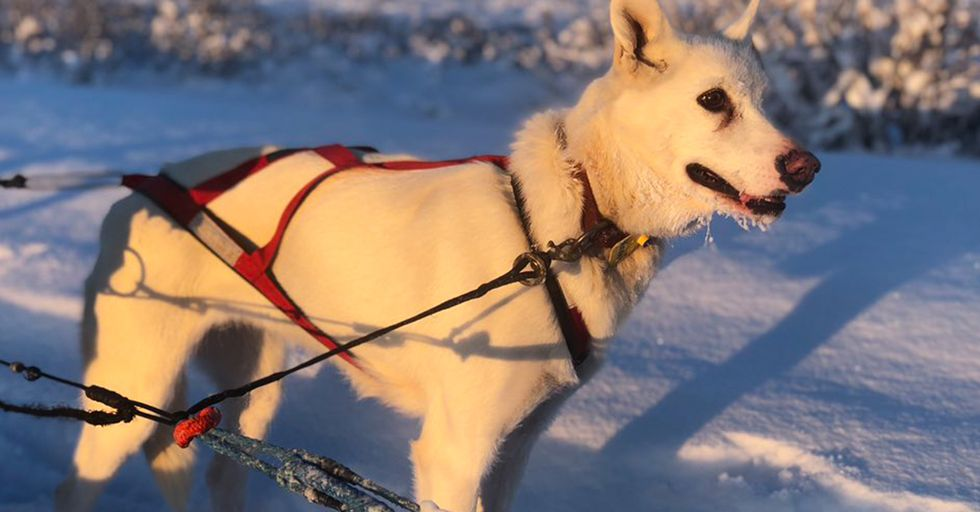 The Gorgeous Dogs in Training for the Iditarod, Alaska's Famous Sled Race