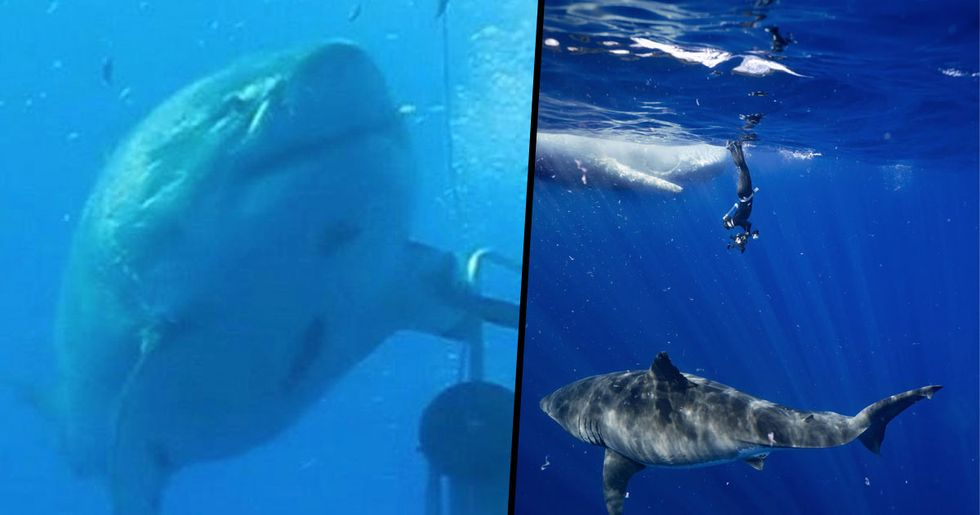 Divers Spot 'World's Biggest Shark' Eating Whale Off The Coast Of Hawaii
