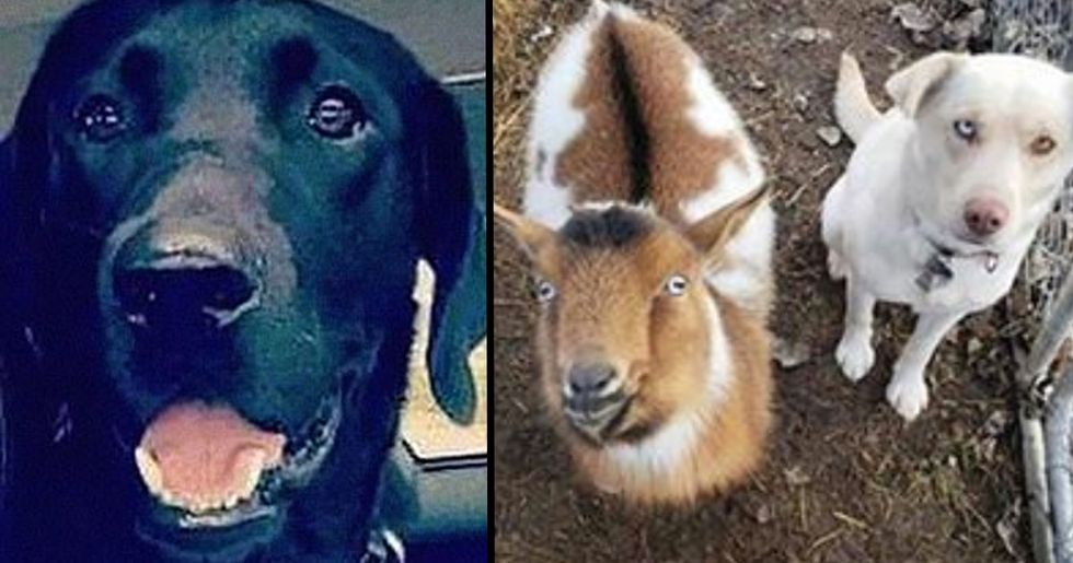 Lost Dog Returns Home With A Goat And A New Dog Friend