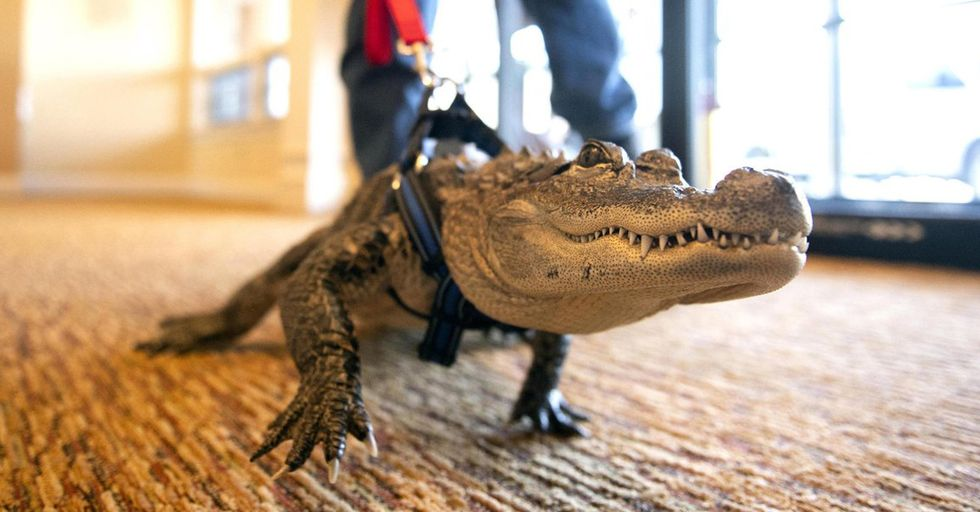 Meet Wally, the Emotional Support Alligator Who Helps Children With Disabilities