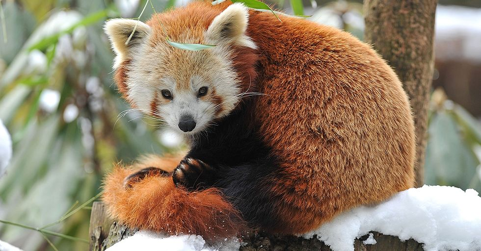 Endangered Red Panda Escapes Belfast Zoo and Takes Herself for Day Trip Around the City