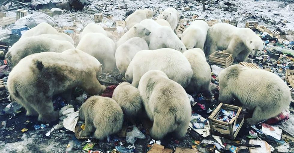 Polar Bears Have Invaded the Russian Islands, Causing a State of Emergency