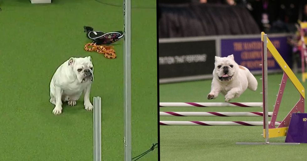 Rudy The Chunky Bulldog Pulls Off Incredible Performance During Agility Test