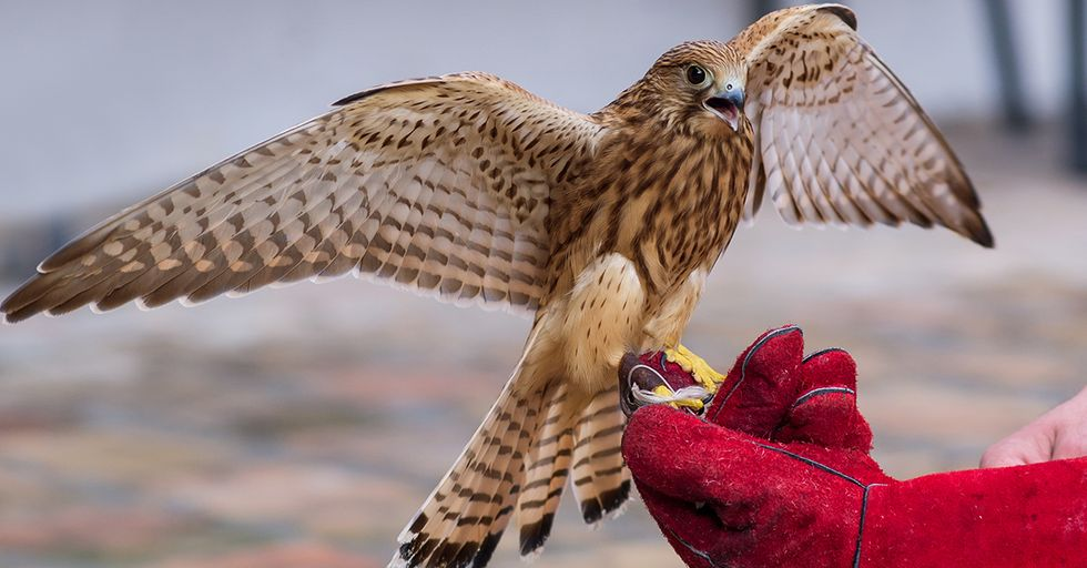 Falconers Are Now Using 'Sex Hats' to Breed Birds