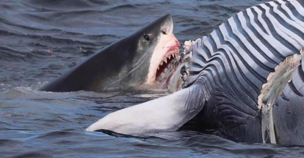 Boat of Tourists Watch as 18-Foot Great White Shark Eats Dead Whale in Front of Their Eyes