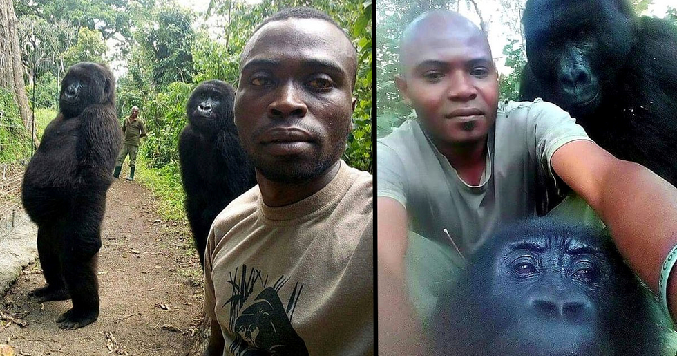 Gorillas Pose for Selfies With Anti-Poaching Rangers in Congo