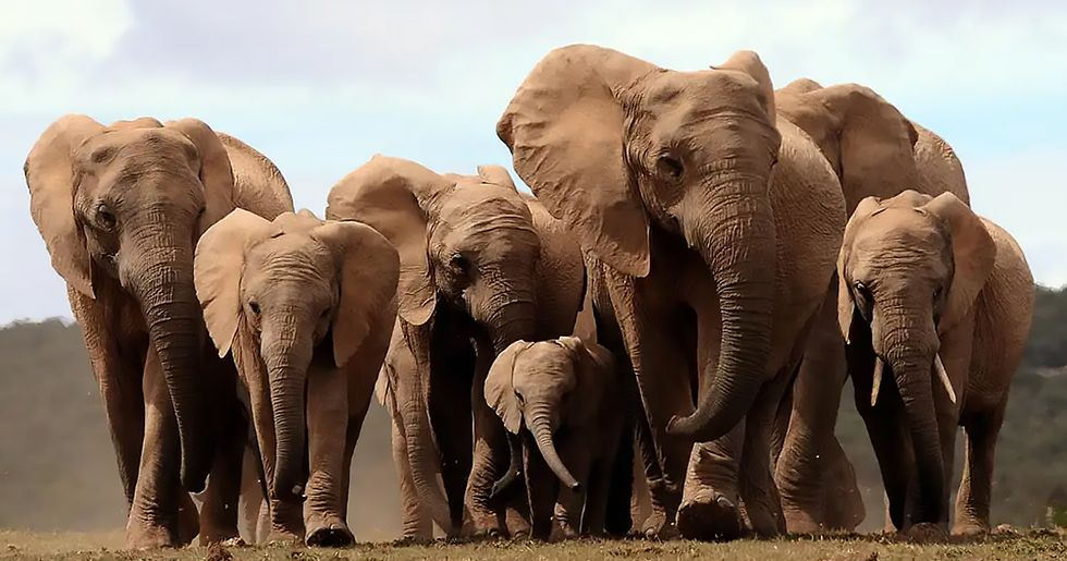 African Elephants Are Evolving to Be Born Without Tusks After Years of Ivory Poaching