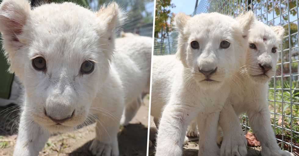 Extremely Rare White Lion Cub Born at Chinese Zoo Prepare to Meet Public