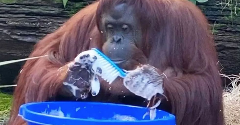 Sandra the Orangutan Has Started Washing Her Hands After Watching Her Caretakers Do It
