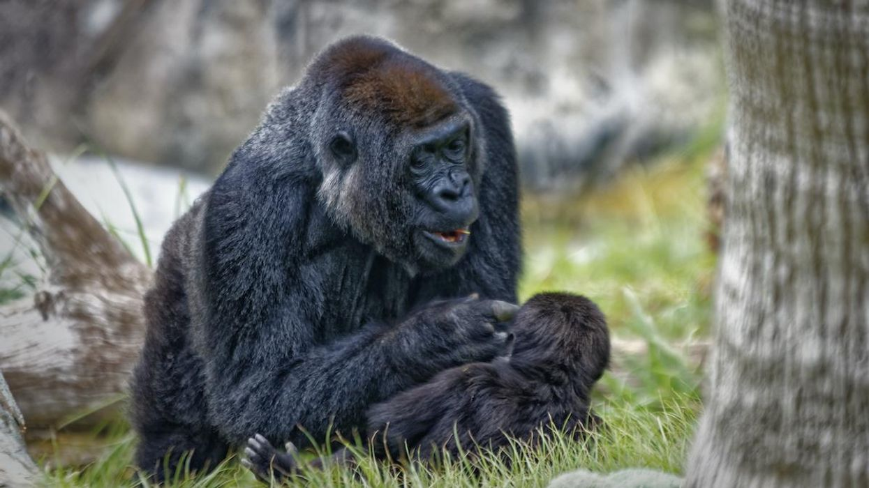 Gorillas in San Diego Test Positive for Coronavirus
