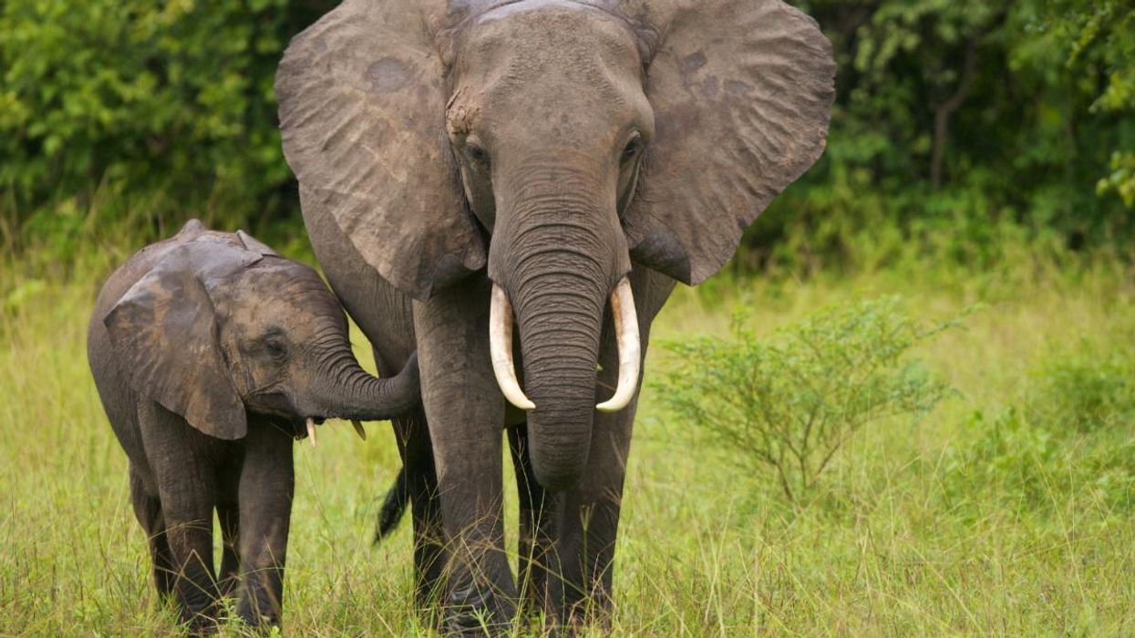 Ivory Is Still Sold on eBay, Even Though It's Illegal