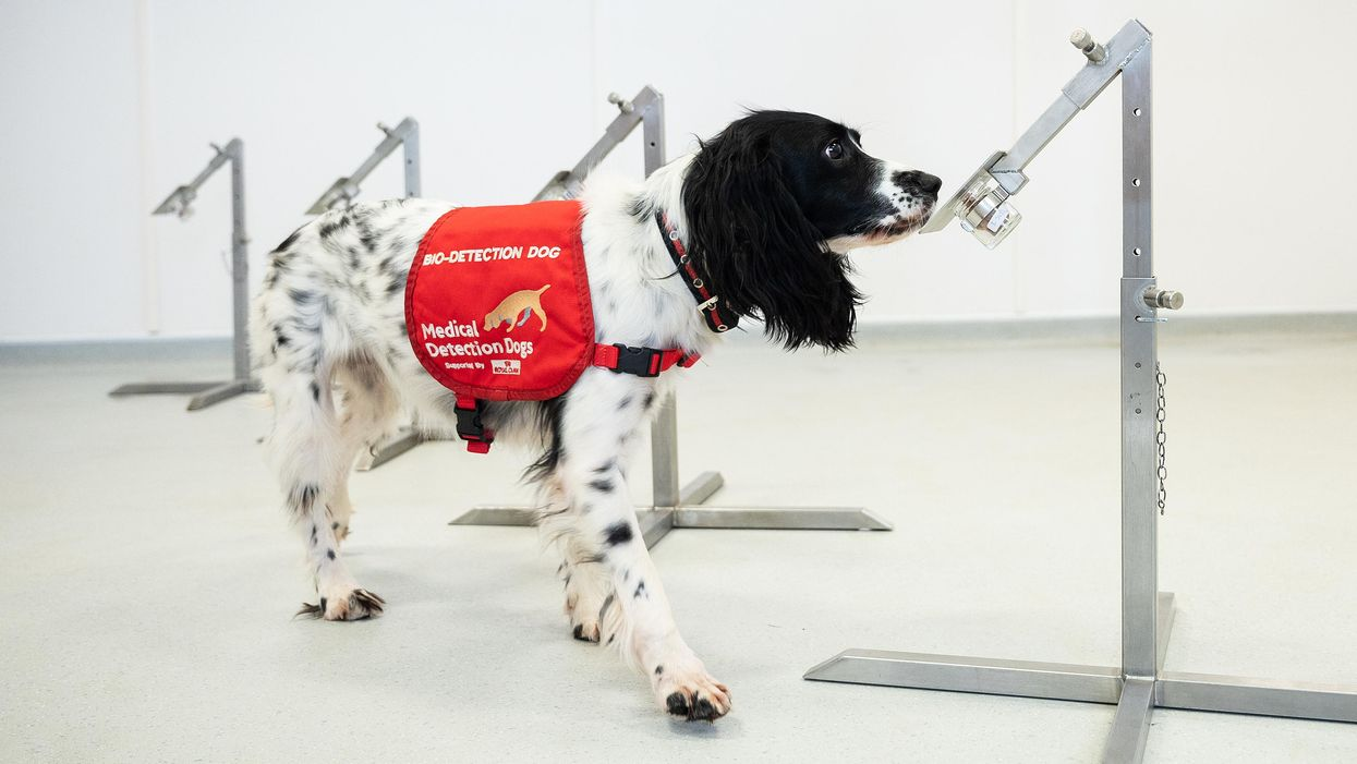 Can medical detection dogs smell coronavirus?